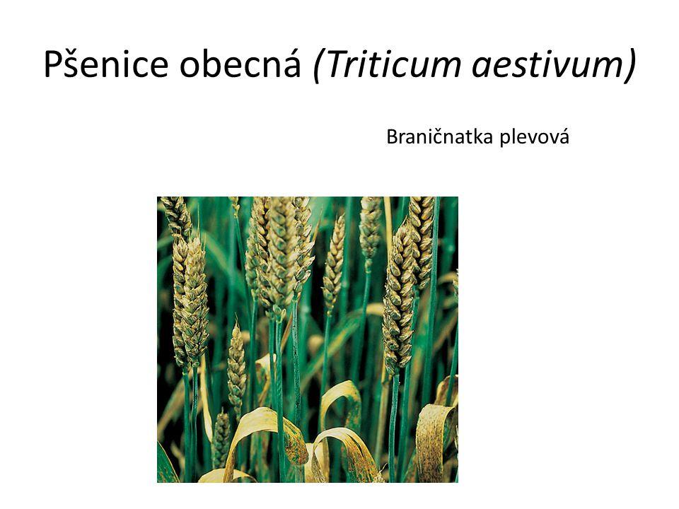 Pšenice obecná (Triticum aestivum) Braničnatka plevová
