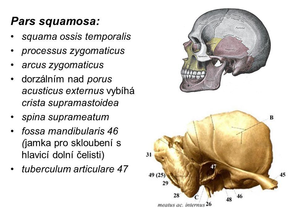 Pars squamosa: squama ossis temporalis processus zygomaticus arcus zygomaticus dorzálním nad porus acusticus externus vybíhá crista supramastoidea spi