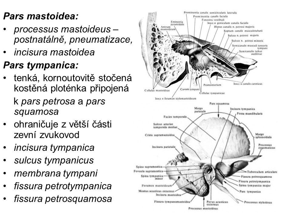 Pars mastoidea: processus mastoideus – postnatálně, pneumatizace, incisura mastoidea Pars tympanica: tenká, kornoutovitě stočená kostěná ploténka přip