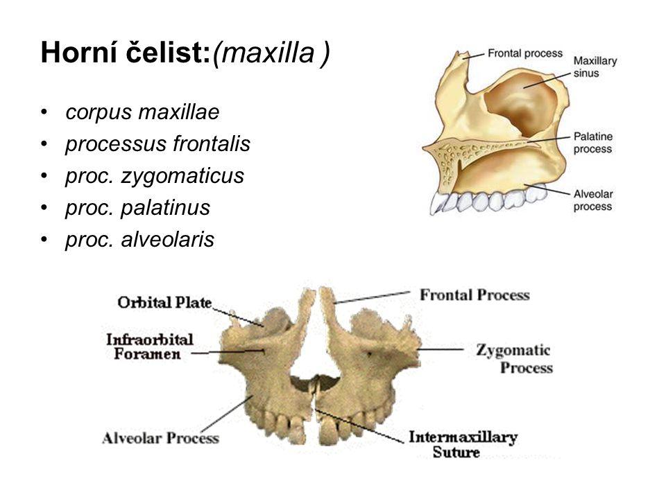 Horní čelist:(maxilla ) corpus maxillae processus frontalis proc. zygomaticus proc. palatinus proc. alveolaris