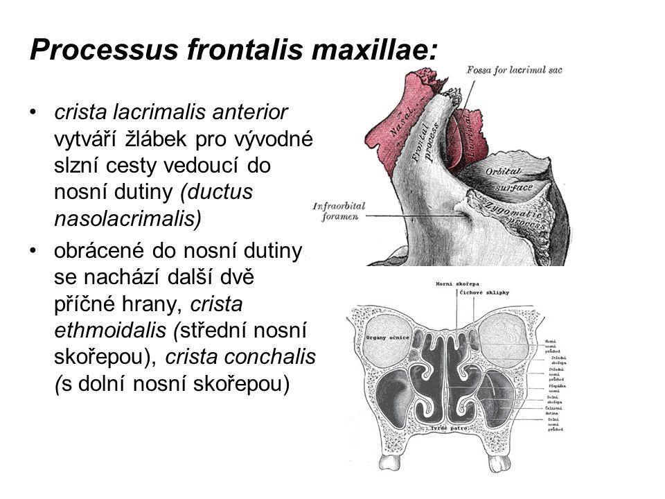 Processus frontalis maxillae: crista lacrimalis anterior vytváří žlábek pro vývodné slzní cesty vedoucí do nosní dutiny (ductus nasolacrimalis) obráce