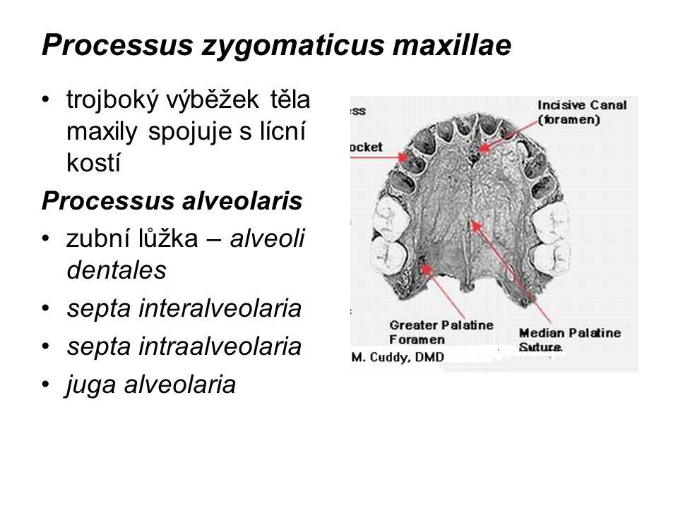 Processus zygomaticus maxillae trojboký výběžek těla maxily spojuje s lícní kostí Processus alveolaris zubní lůžka – alveoli dentales septa interalveo