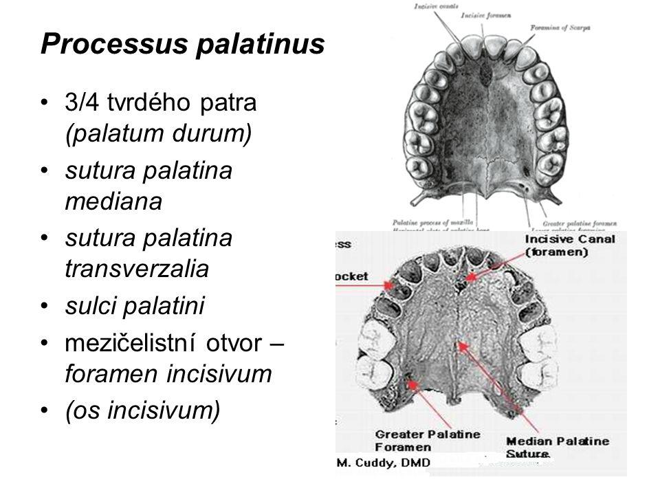 Processus palatinus 3/4 tvrdého patra (palatum durum) sutura palatina mediana sutura palatina transverzalia sulci palatini mezičelistní otvor – forame