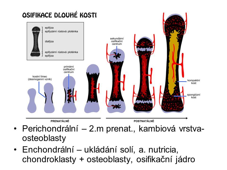 Perichondrální – 2.m prenat., kambiová vrstva- osteoblasty Enchondrální – ukládání solí, a. nutricia, chondroklasty + osteoblasty, osifikační jádro