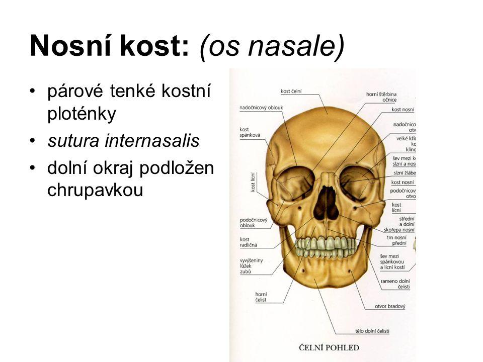 Nosní kost: (os nasale) párové tenké kostní ploténky sutura internasalis dolní okraj podložen chrupavkou