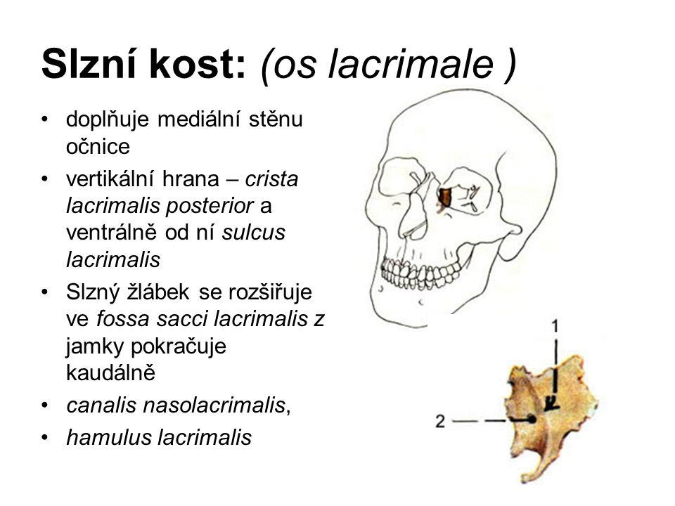 Slzní kost: (os lacrimale ) doplňuje mediální stěnu očnice vertikální hrana – crista lacrimalis posterior a ventrálně od ní sulcus lacrimalis Slzný žl