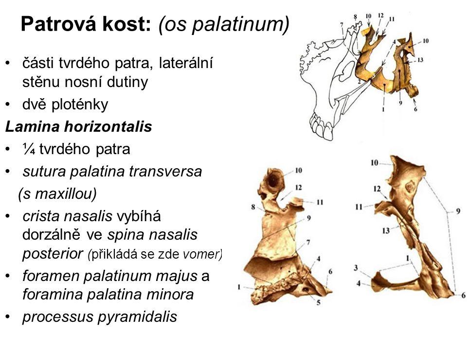 Patrová kost: (os palatinum) části tvrdého patra, laterální stěnu nosní dutiny dvě ploténky Lamina horizontalis ¼ tvrdého patra sutura palatina transv