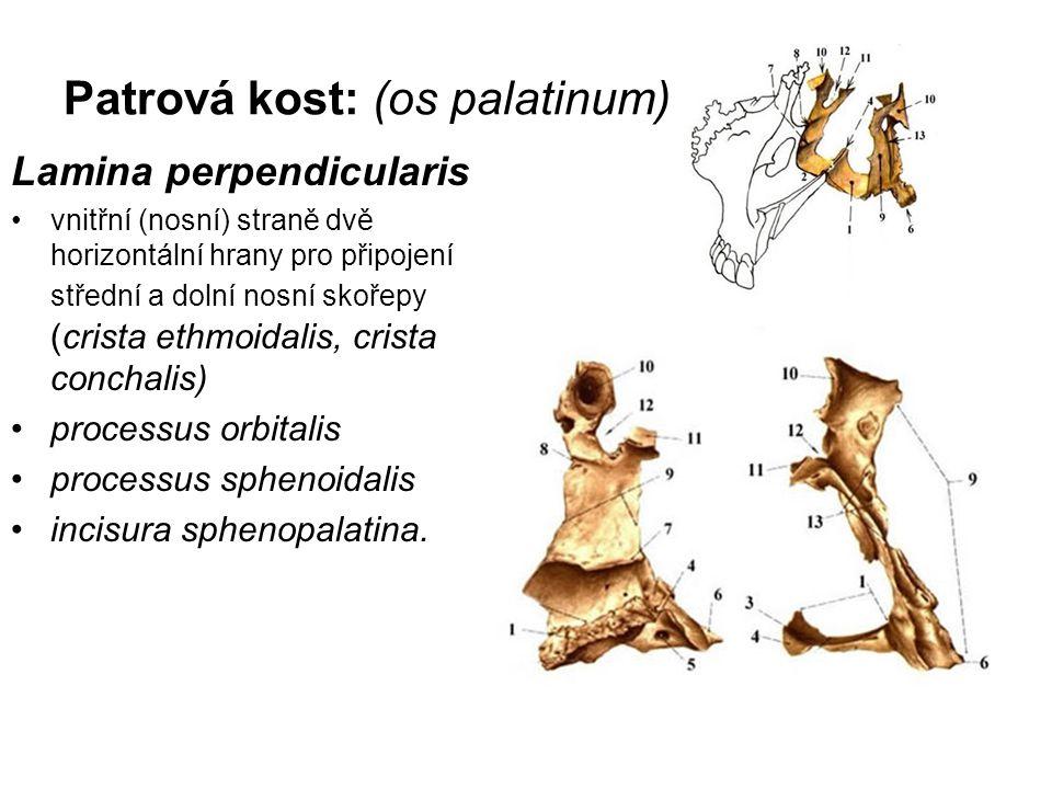 Patrová kost: (os palatinum) Lamina perpendicularis vnitřní (nosní) straně dvě horizontální hrany pro připojení střední a dolní nosní skořepy (crista
