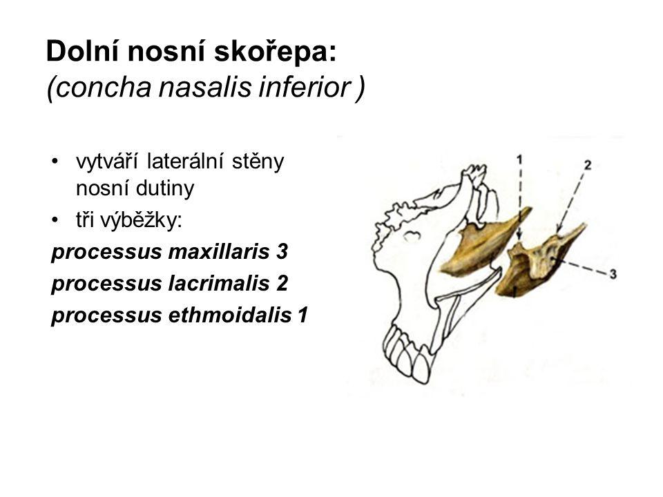 Dolní nosní skořepa: (concha nasalis inferior ) vytváří laterální stěny nosní dutiny tři výběžky: processus maxillaris 3 processus lacrimalis 2 proces