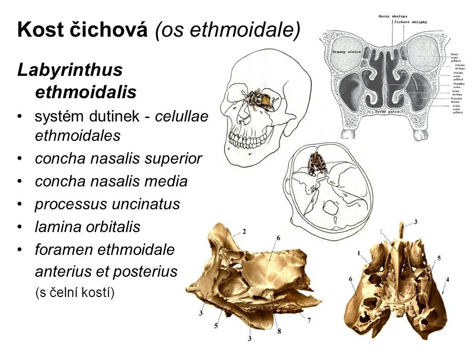 Kost čichová (os ethmoidale) Labyrinthus ethmoidalis systém dutinek - celullae ethmoidales concha nasalis superior concha nasalis media processus unci