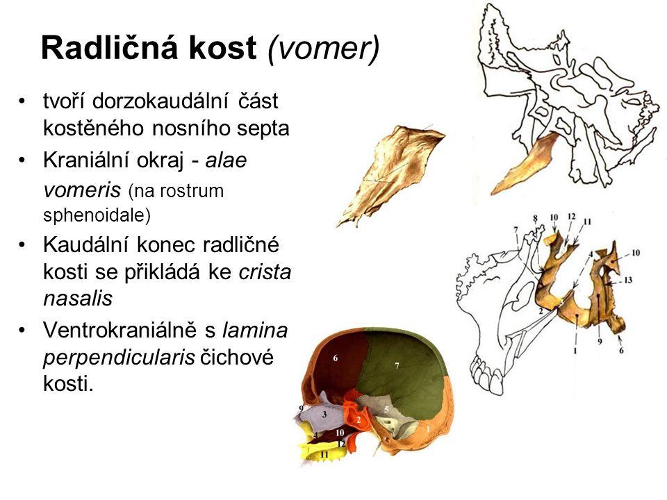 Radličná kost (vomer) tvoří dorzokaudální část kostěného nosního septa Kraniální okraj - alae vomeris (na rostrum sphenoidale) Kaudální konec radličné
