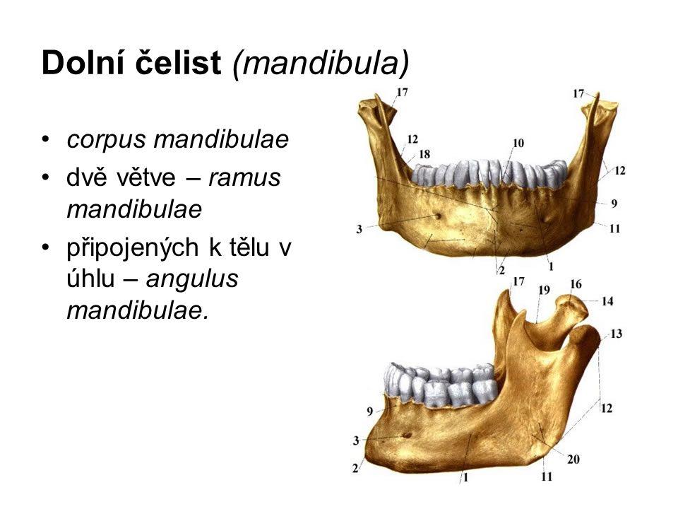 Dolní čelist (mandibula) corpus mandibulae dvě větve – ramus mandibulae připojených k tělu v úhlu – angulus mandibulae.