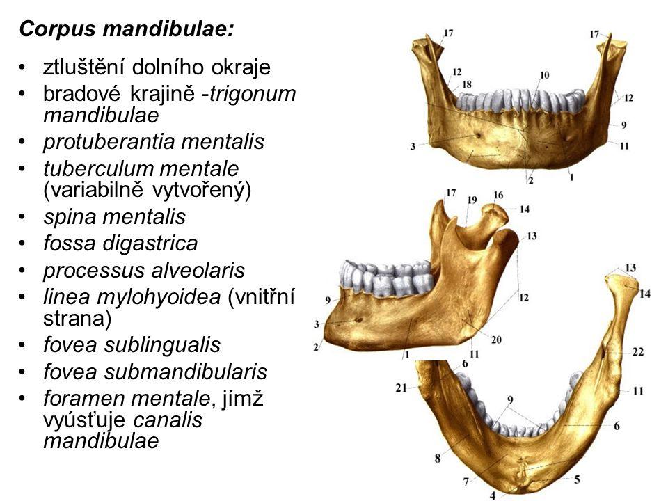 Corpus mandibulae: ztluštění dolního okraje bradové krajině -trigonum mandibulae protuberantia mentalis tuberculum mentale (variabilně vytvořený) spin