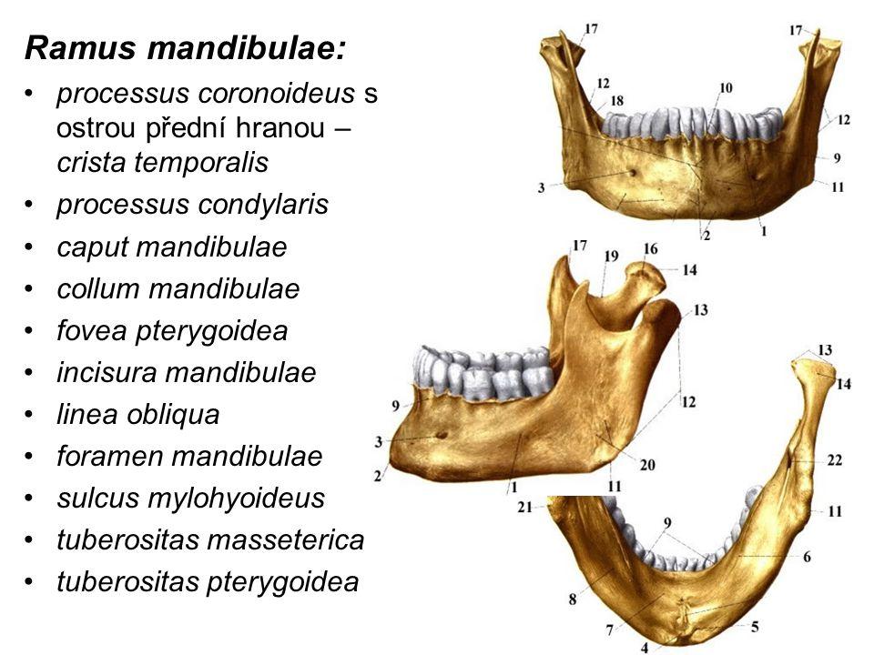 Ramus mandibulae: processus coronoideus s ostrou přední hranou – crista temporalis processus condylaris caput mandibulae collum mandibulae fovea ptery