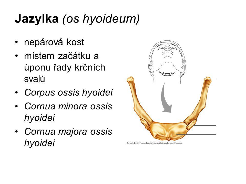 Jazylka (os hyoideum) nepárová kost místem začátku a úponu řady krčních svalů Corpus ossis hyoidei Cornua minora ossis hyoidei Cornua majora ossis hyo