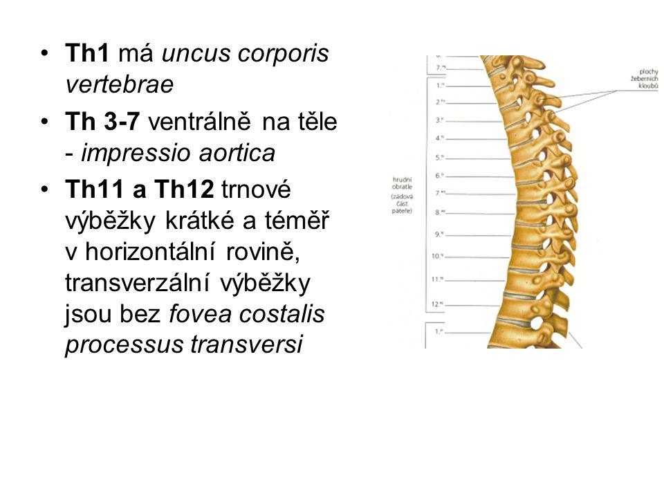 Th1 má uncus corporis vertebrae Th 3-7 ventrálně na těle - impressio aortica Th11 a Th12 trnové výběžky krátké a téměř v horizontální rovině, transver