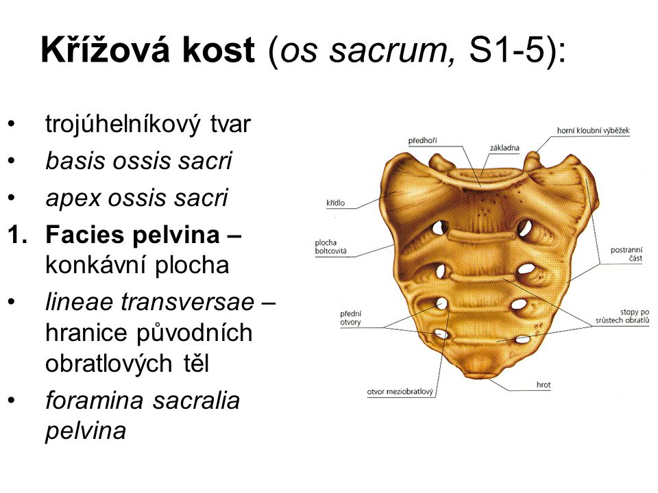 Křížová kost (os sacrum, S1-5): trojúhelníkový tvar basis ossis sacri apex ossis sacri 1.Facies pelvina – konkávní plocha lineae transversae – hranice