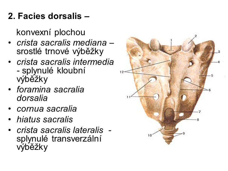 2. Facies dorsalis – konvexní plochou crista sacralis mediana – srostlé trnové výběžky crista sacralis intermedia - splynulé kloubní výběžky foramina