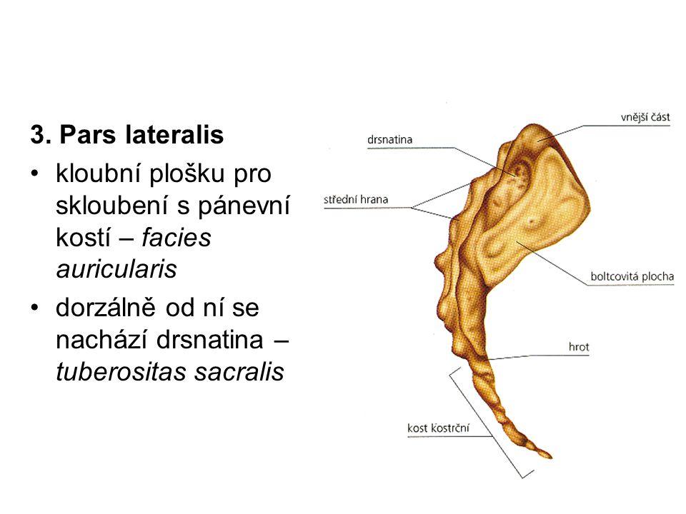 3. Pars lateralis kloubní plošku pro skloubení s pánevní kostí – facies auricularis dorzálně od ní se nachází drsnatina – tuberositas sacralis