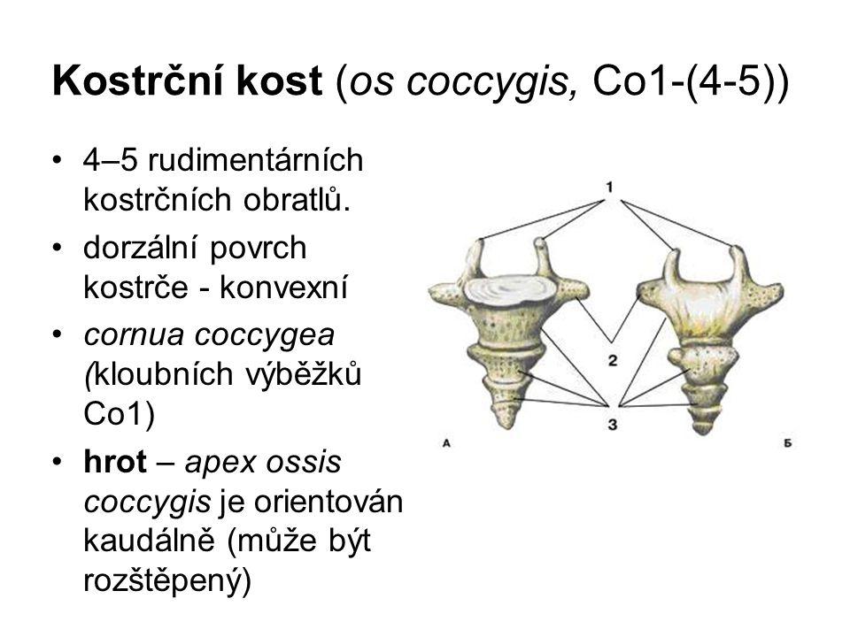 Kostrční kost (os coccygis, Co1-(4-5)) 4–5 rudimentárních kostrčních obratlů. dorzální povrch kostrče - konvexní cornua coccygea (kloubních výběžků Co