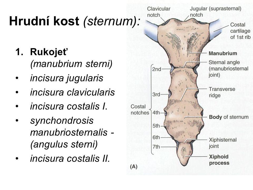 Hrudní kost (sternum): 1.Rukojeť (manubrium sterni) incisura jugularis incisura clavicularis incisura costalis I. synchondrosis manubriosternalis - (a