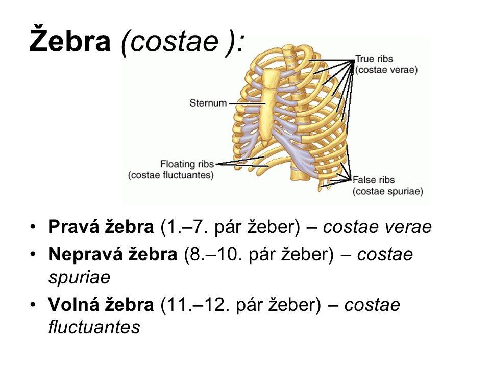 Žebra (costae ): Pravá žebra (1.–7. pár žeber) – costae verae Nepravá žebra (8.–10. pár žeber) – costae spuriae Volná žebra (11.–12. pár žeber) – cost