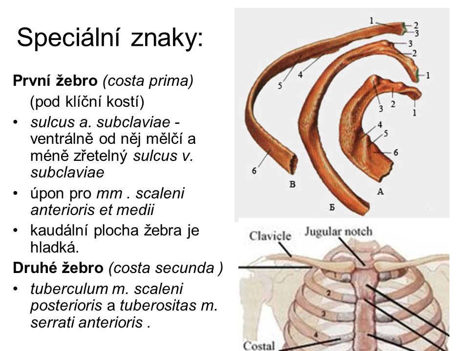 Speciální znaky: První žebro (costa prima) (pod klíční kostí) sulcus a. subclaviae - ventrálně od něj mělčí a méně zřetelný sulcus v. subclaviae úpon