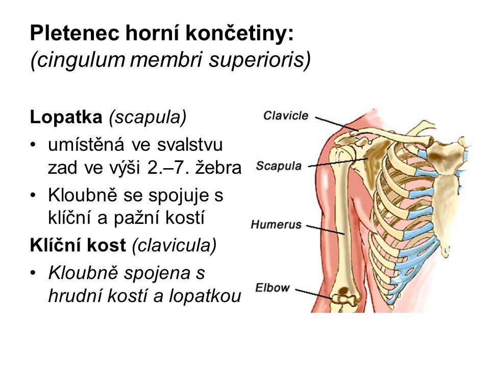 Pletenec horní končetiny: (cingulum membri superioris) Lopatka (scapula) umístěná ve svalstvu zad ve výši 2.–7. žebra Kloubně se spojuje s klíční a pa