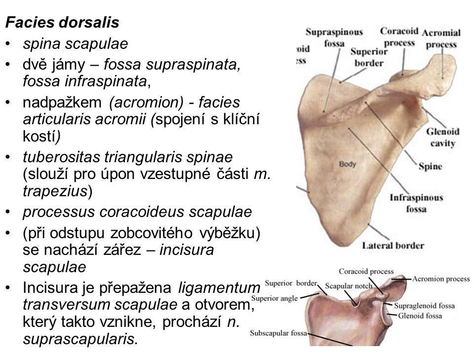 Facies dorsalis spina scapulae dvě jámy – fossa supraspinata, fossa infraspinata, nadpažkem (acromion) - facies articularis acromii (spojení s klíční