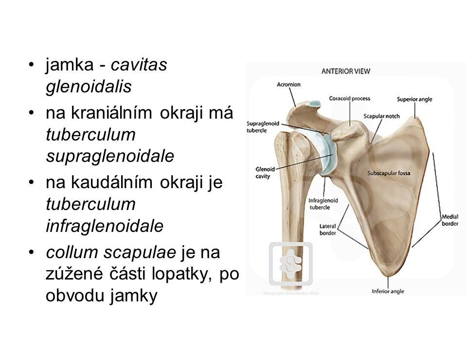 jamka - cavitas glenoidalis na kraniálním okraji má tuberculum supraglenoidale na kaudálním okraji je tuberculum infraglenoidale collum scapulae je na