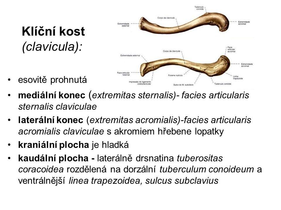 Klíční kost (clavicula): esovitě prohnutá mediální konec ( extremitas sternalis)- facies articularis sternalis claviculae laterální konec (extremitas