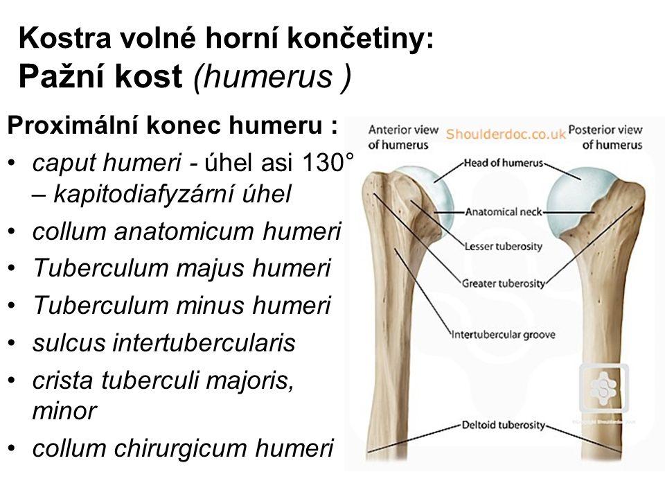 Kostra volné horní končetiny: Pažní kost (humerus ) Proximální konec humeru : caput humeri - úhel asi 130° – kapitodiafyzární úhel collum anatomicum h