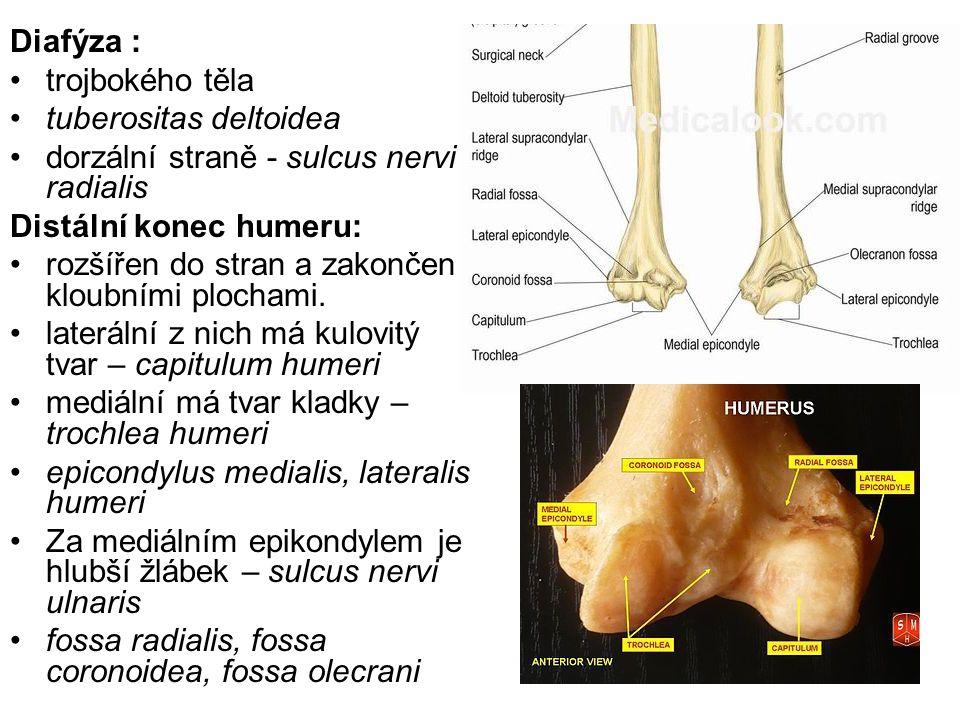 Diafýza : trojbokého těla tuberositas deltoidea dorzální straně - sulcus nervi radialis Distální konec humeru: rozšířen do stran a zakončen kloubními