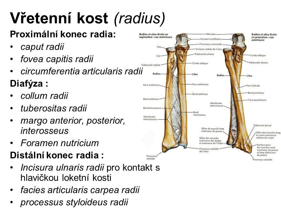 Vřetenní kost (radius) Proximální konec radia: caput radii fovea capitis radii circumferentia articularis radii Diafýza : collum radii tuberositas rad