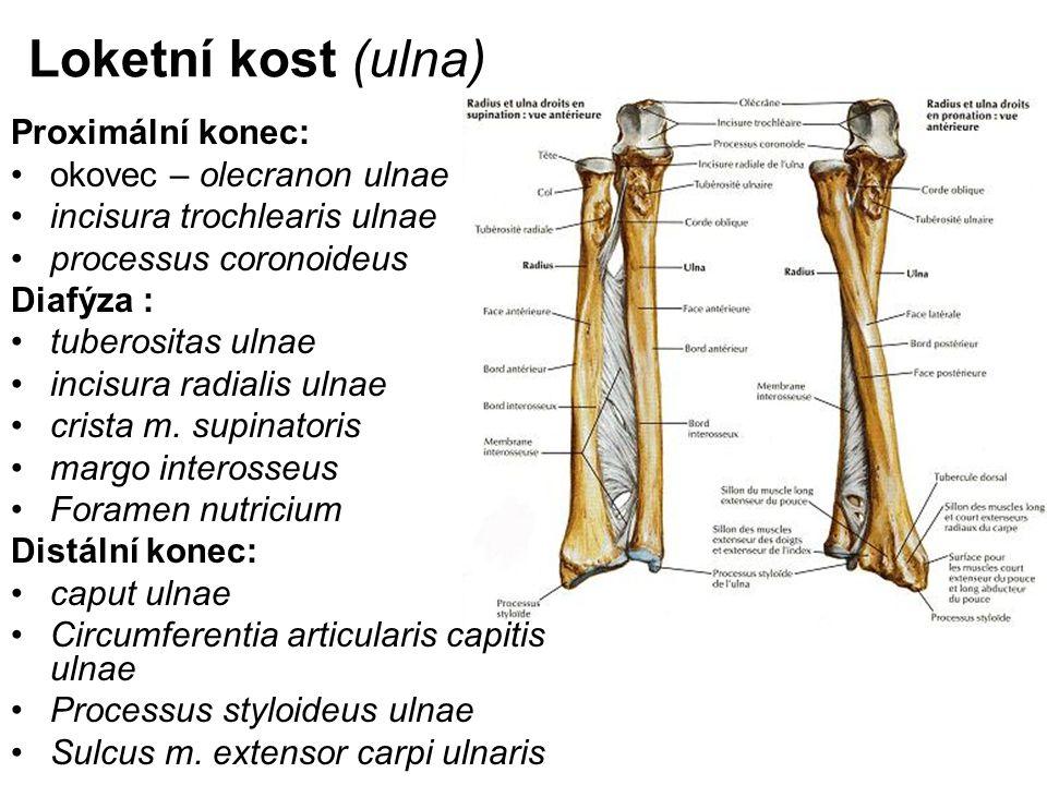 Loketní kost (ulna) Proximální konec: okovec – olecranon ulnae incisura trochlearis ulnae processus coronoideus Diafýza : tuberositas ulnae incisura r
