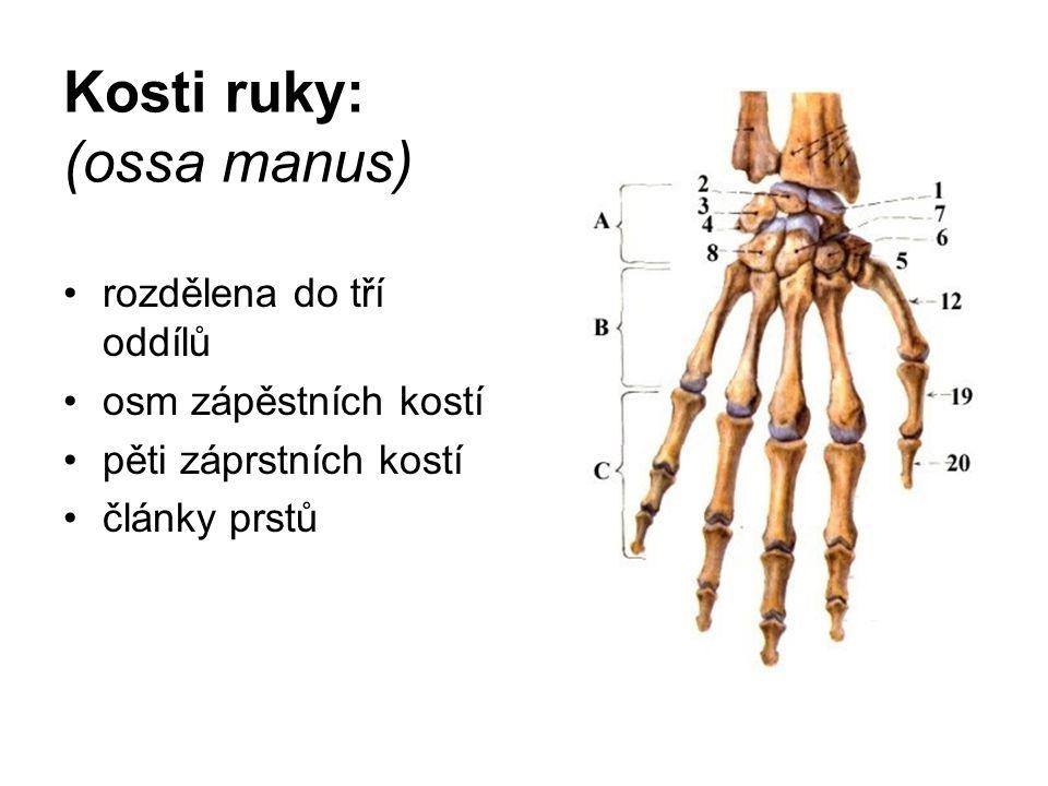 Kosti ruky: (ossa manus) rozdělena do tří oddílů osm zápěstních kostí pěti záprstních kostí články prstů