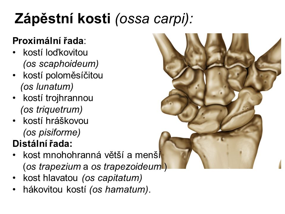 Zápěstní kosti (ossa carpi): Proximální řada: kostí loďkovitou (os scaphoideum) kostí poloměsíčitou (os lunatum) kostí trojhrannou (os triquetrum) kos