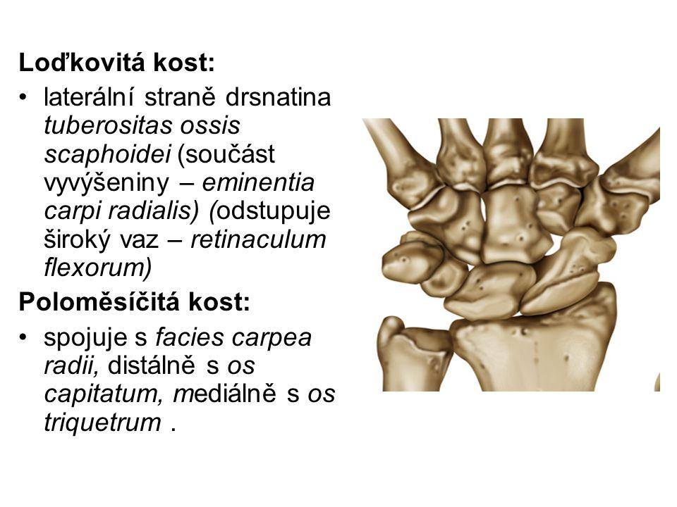 Loďkovitá kost: laterální straně drsnatina tuberositas ossis scaphoidei (součást vyvýšeniny – eminentia carpi radialis) (odstupuje široký vaz – retina