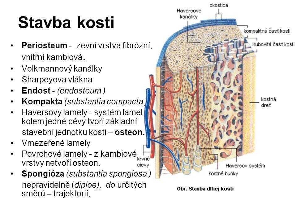 Stavba kosti Periosteum - zevní vrstva fibrózní, vnitřní kambiová. Volkmannový kanálky Sharpeyova vlákna Endost - (endosteum ) Kompakta (substantia co
