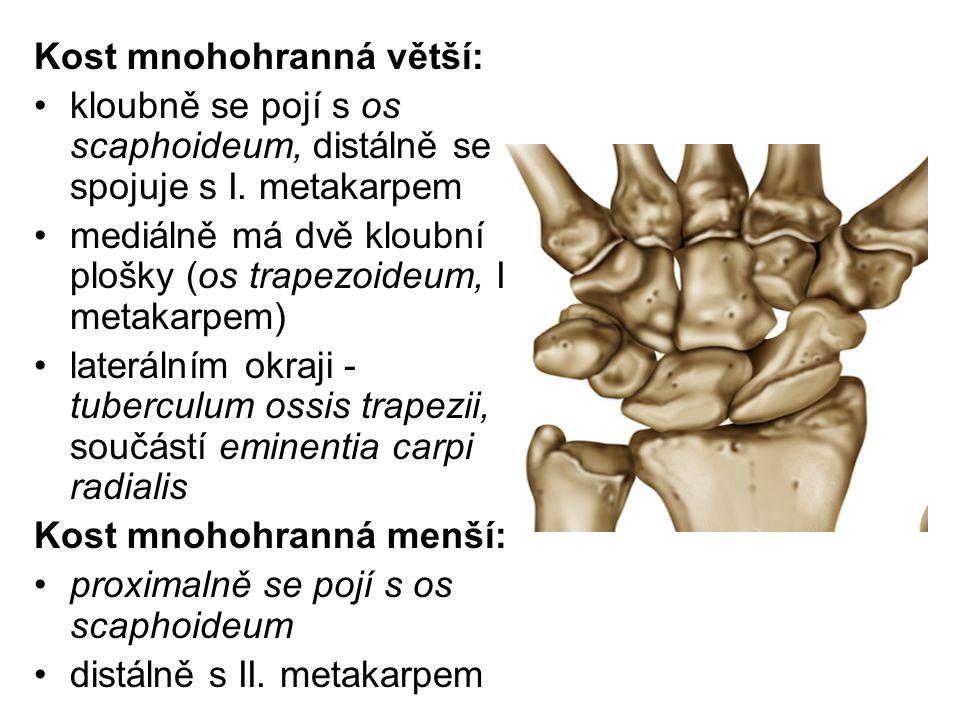 Kost mnohohranná větší: kloubně se pojí s os scaphoideum, distálně se spojuje s I. metakarpem mediálně má dvě kloubní plošky (os trapezoideum, II. met