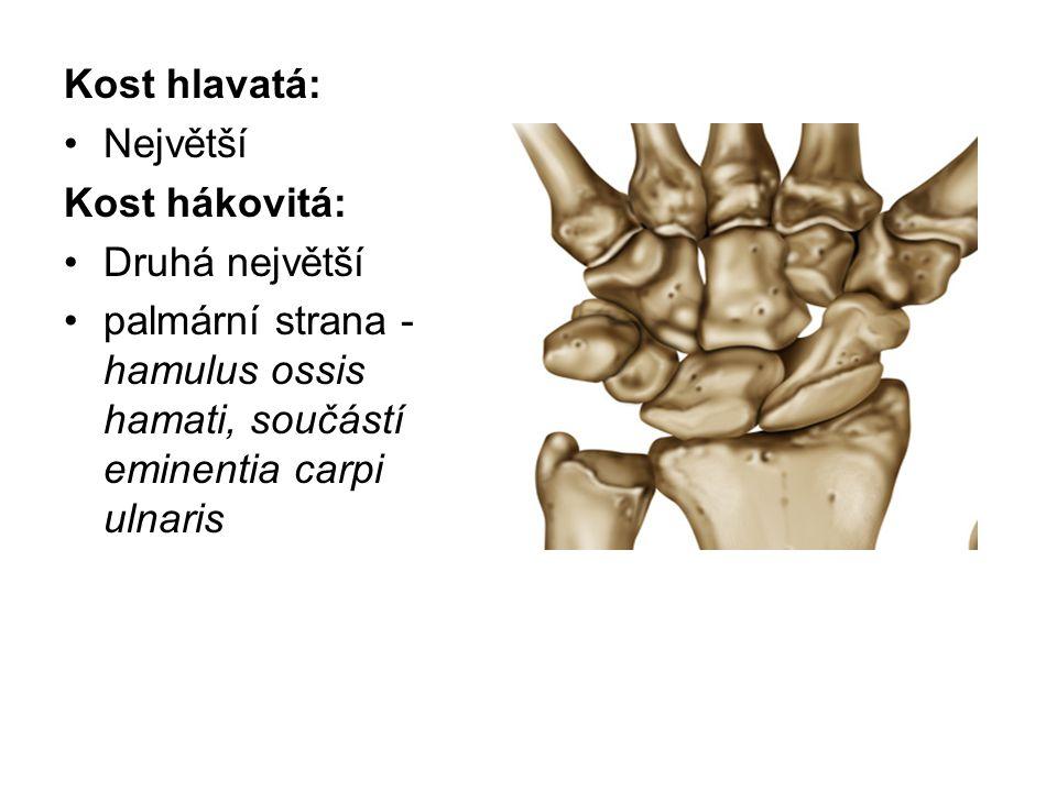 Kost hlavatá: Největší Kost hákovitá: Druhá největší palmární strana - hamulus ossis hamati, součástí eminentia carpi ulnaris