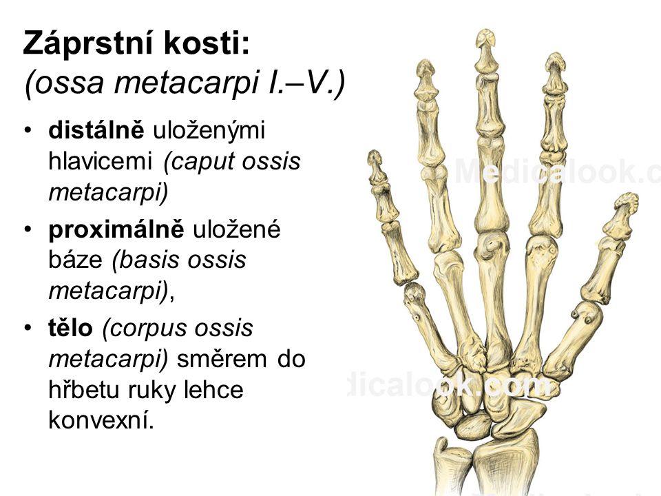 Záprstní kosti: (ossa metacarpi I.–V.) distálně uloženými hlavicemi (caput ossis metacarpi) proximálně uložené báze (basis ossis metacarpi), tělo (cor