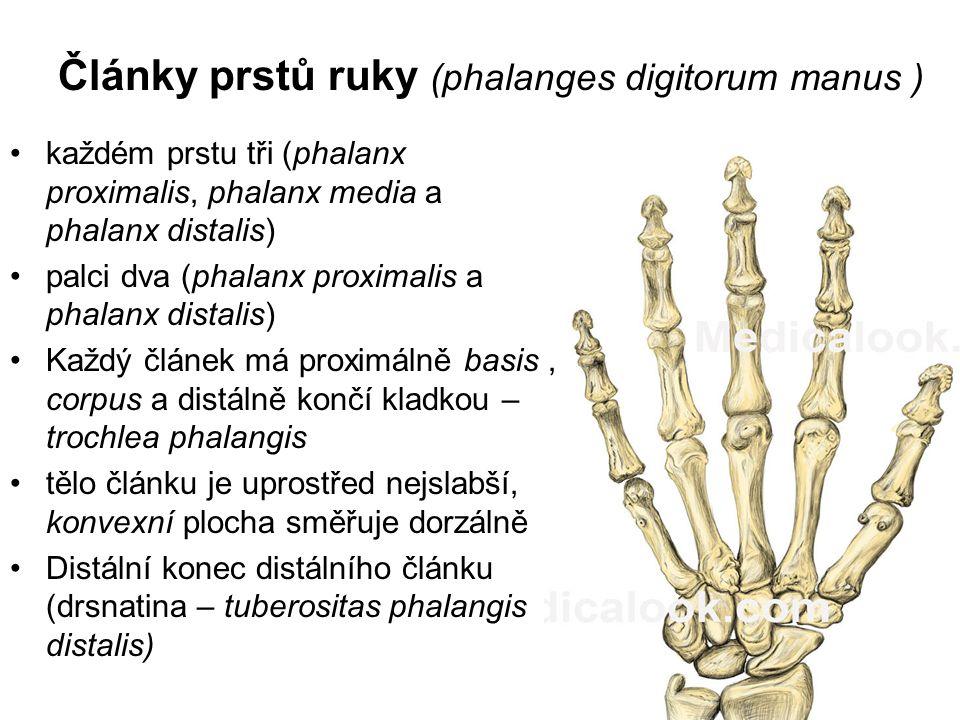 Články prstů ruky (phalanges digitorum manus ) každém prstu tři (phalanx proximalis, phalanx media a phalanx distalis) palci dva (phalanx proximalis a