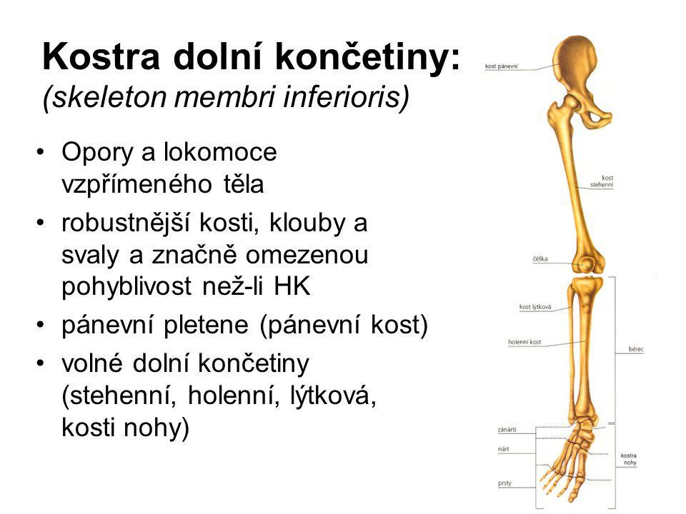Kostra dolní končetiny: (skeleton membri inferioris) Opory a lokomoce vzpřímeného těla robustnější kosti, klouby a svaly a značně omezenou pohyblivost