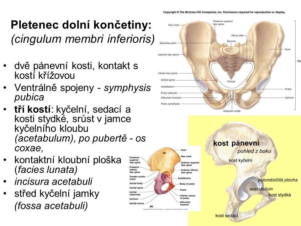 Pletenec dolní končetiny: (cingulum membri inferioris) dvě pánevní kosti, kontakt s kostí křížovou Ventrálně spojeny - symphysis pubica tří kostí: kyč