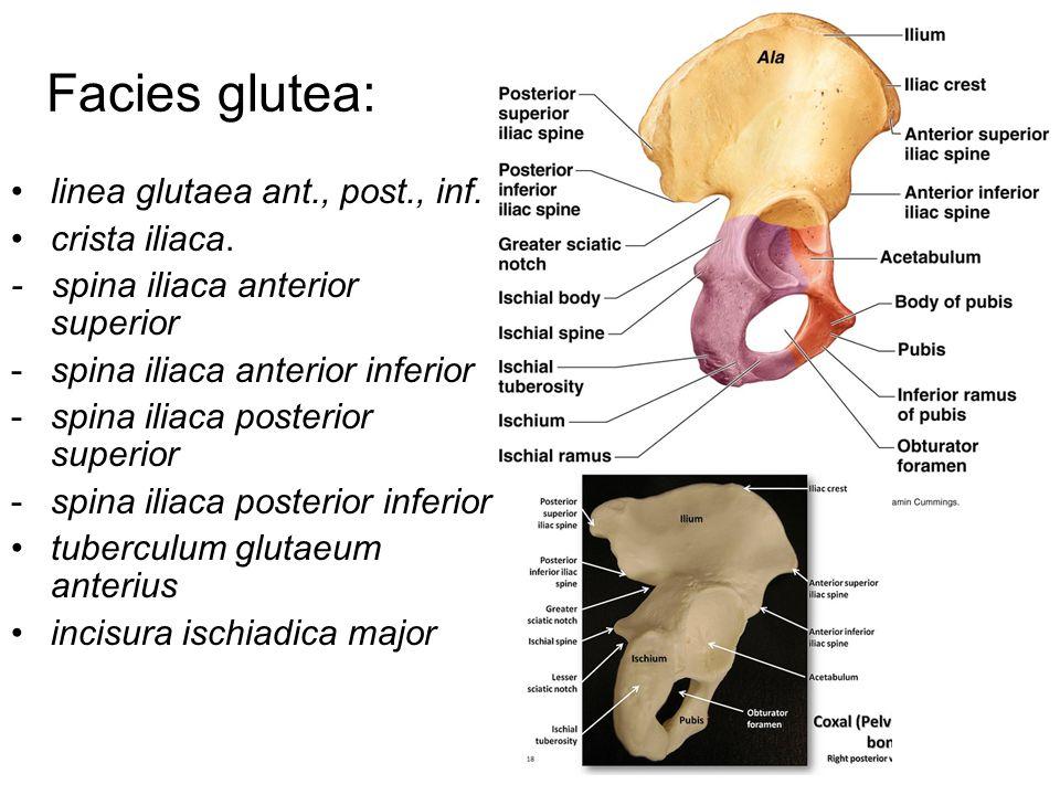 Facies glutea: linea glutaea ant., post., inf. crista iliaca. - spina iliaca anterior superior -spina iliaca anterior inferior -spina iliaca posterior
