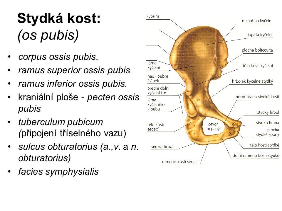 Stydká kost: (os pubis) corpus ossis pubis, ramus superior ossis pubis ramus inferior ossis pubis. kraniální ploše - pecten ossis pubis tuberculum pub