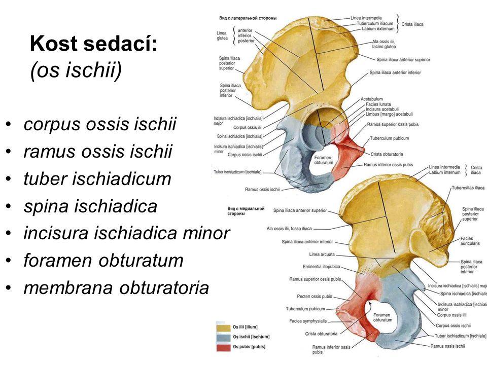 Kost sedací: (os ischii) corpus ossis ischii ramus ossis ischii tuber ischiadicum spina ischiadica incisura ischiadica minor foramen obturatum membran