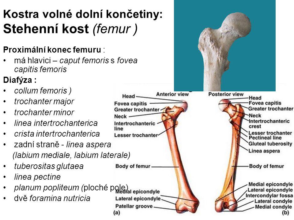 Kostra volné dolní končetiny: Stehenní kost (femur ) Proximální konec femuru : má hlavici – caput femoris s fovea capitis femoris Diafýza : collum fem