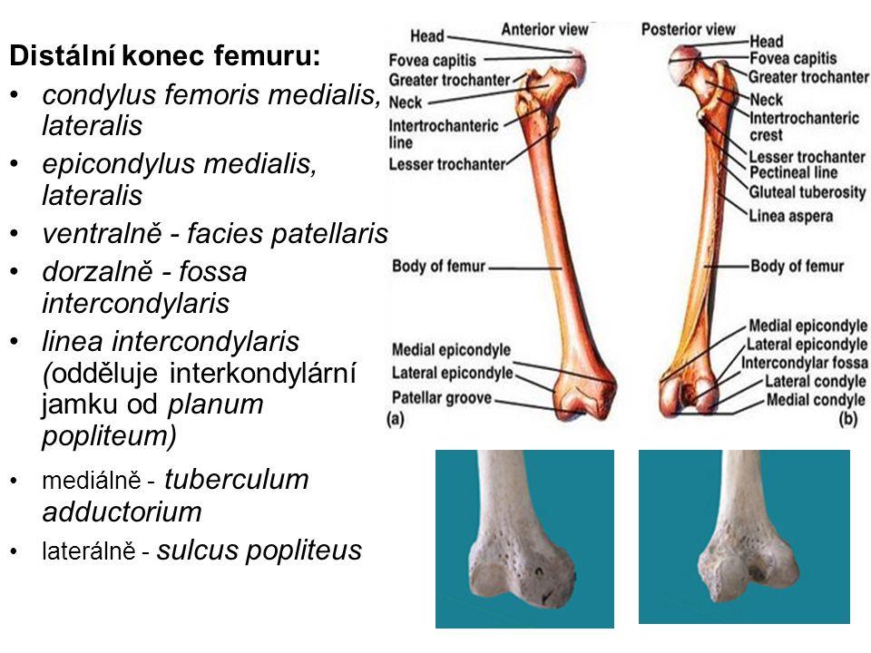 Distální konec femuru: condylus femoris medialis, lateralis epicondylus medialis, lateralis ventralně - facies patellaris dorzalně - fossa intercondyl